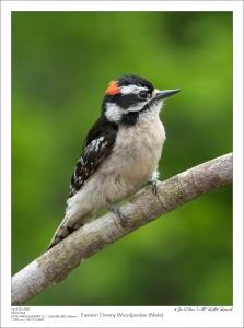 Eastern Downy Woodpecker (Male)
