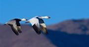 Goose Duo