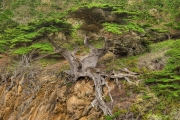 Old Veteran Cypress - Point Lobos