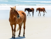 Wild Horses of Corolla