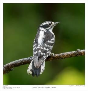 Eastern Downy Woodpecker (Female)