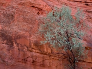 Russian Olive - Canyon de Chelly