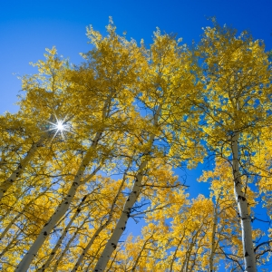 Backlit Aspens, Ridgway, CO